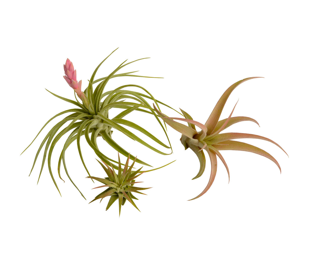 3 Pretty Pinks Air Plant Gift Collection