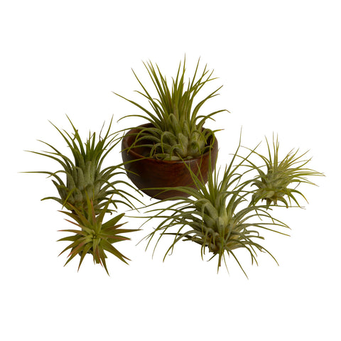 5 Tillandsia + Wooden Bowl