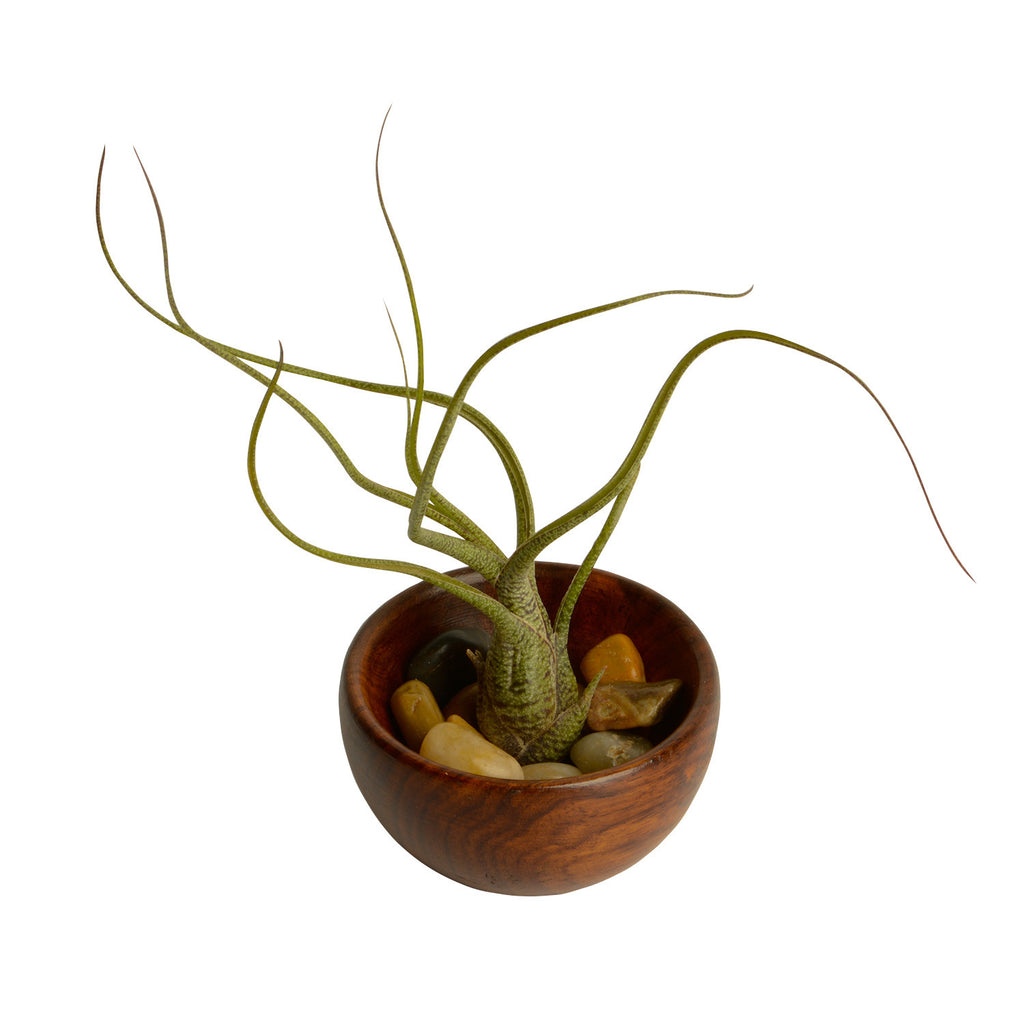 Butzii Air Plant + Wooden Bowl