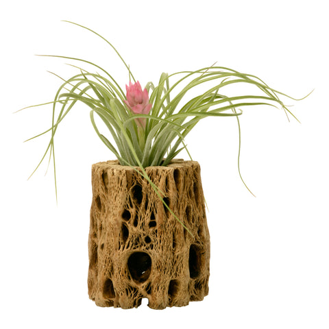 Cholla Cactus Wood + Blooming Air Plant