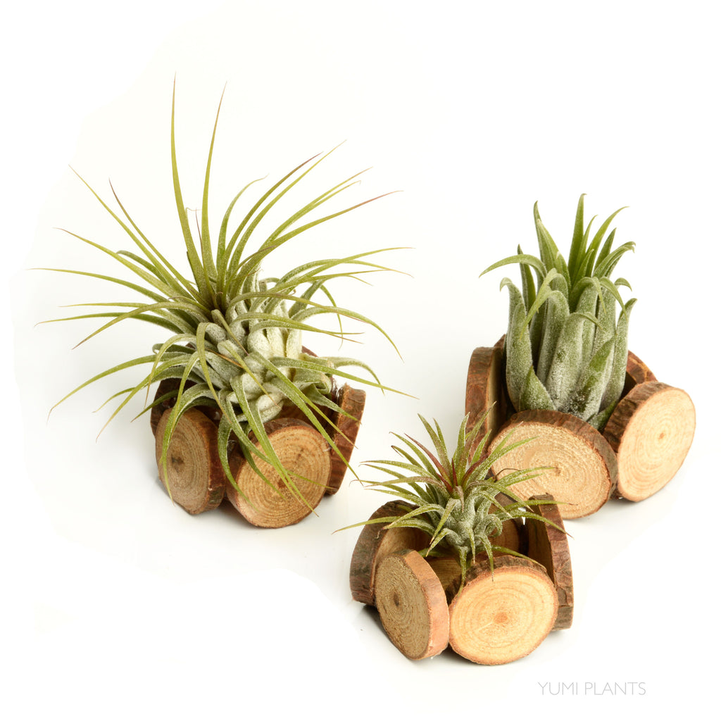Natural Wood Dish + Air Plant