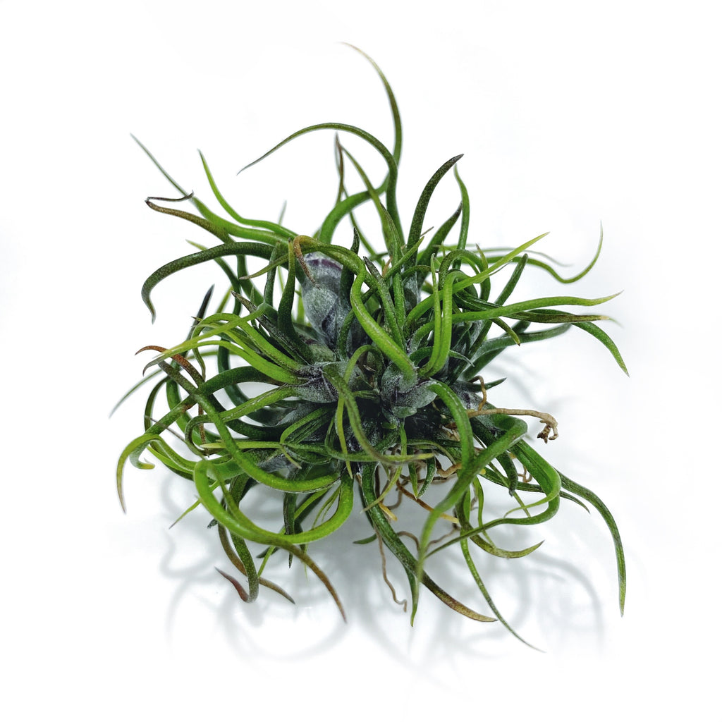 Mini Bulbosa Brazil Ball