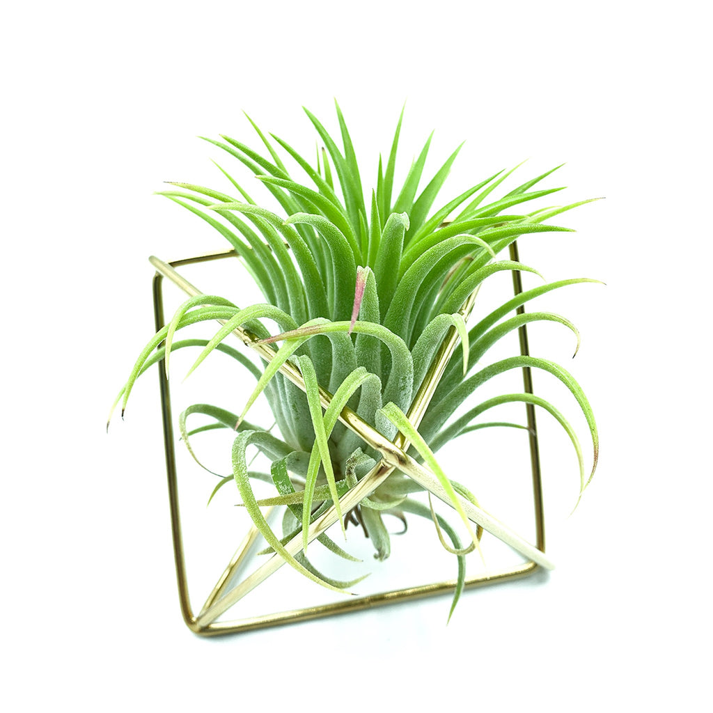 Gold Polygon Stand + Air Plant