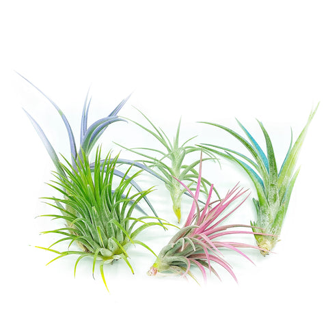 July Special! 5 Air Plant Pastel Bouquet