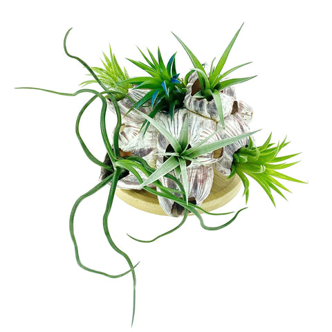Sea Barnacle + Air Plants