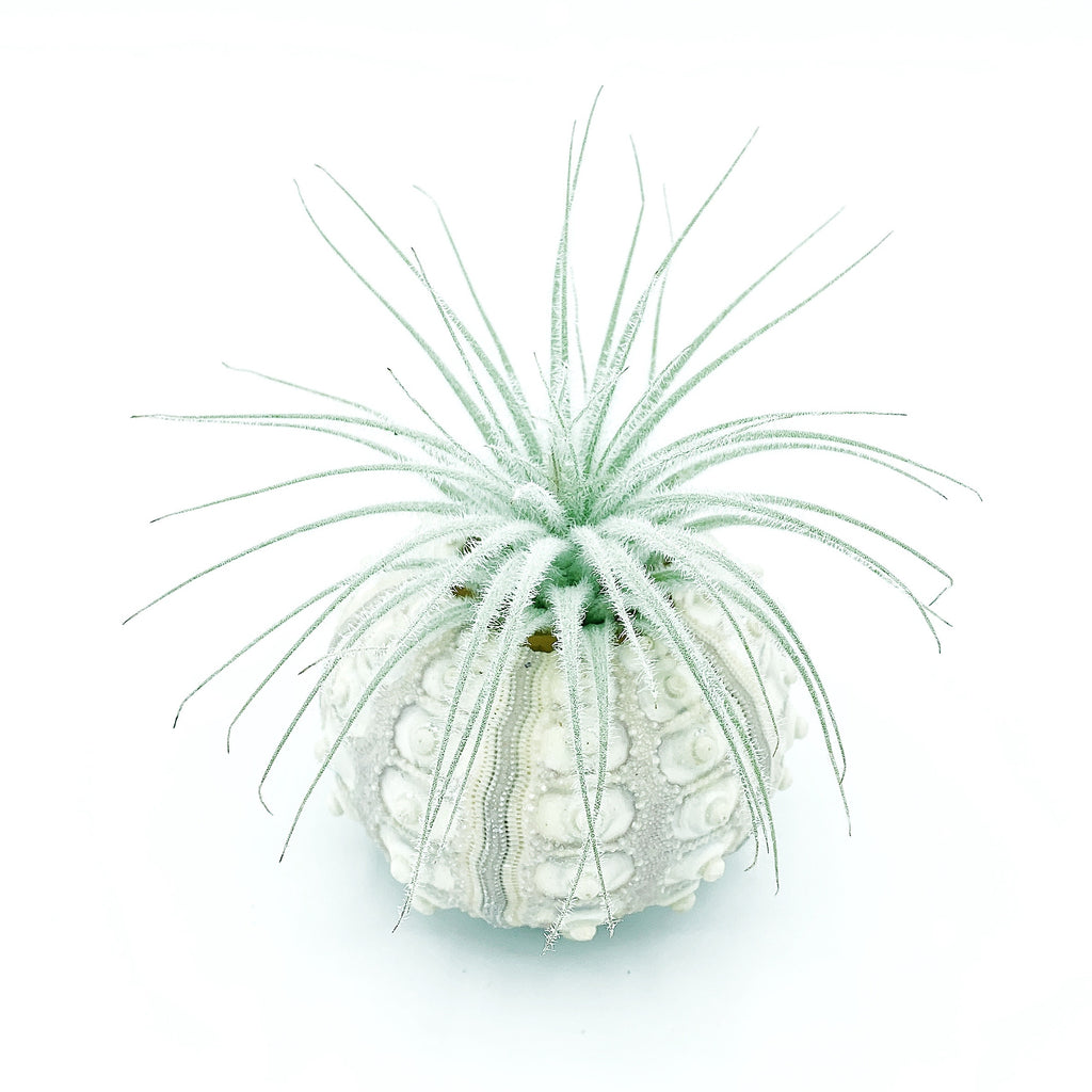 Sputnik Sea Urchin + Tectorum