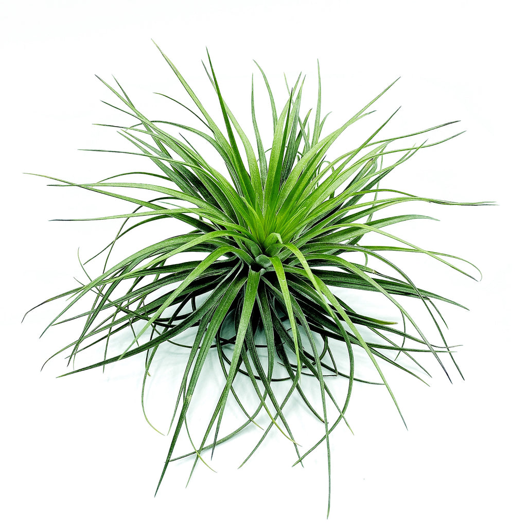 T. Stricta Hugo - Large