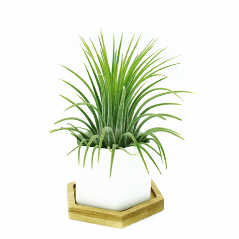 White Polygon Ceramic Air Plant Holder + Plant