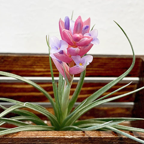 Tillandsia + Wood Planter