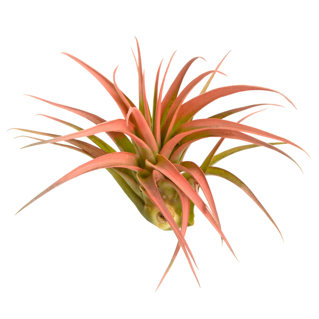 Peach Abdita Air Plant