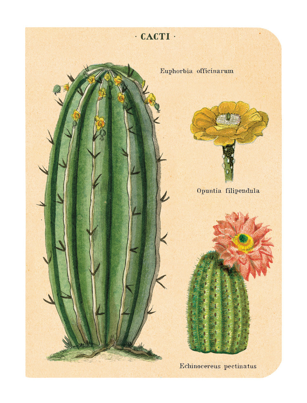 Opuntias, agaves, and aloes are all featured in Cavallini's succulents notebook set.
