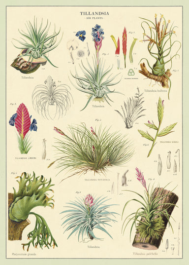 For the botanist in all of us- or at least for the anyone who appreciates the beauty of Bromeliads.
