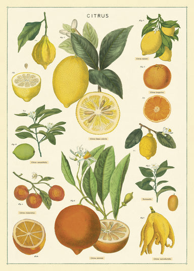 Lemons, limes, oranges, and tangerines are among the citrus fruits featured on Cavallini's Citrus Chart Decorative Wrap.