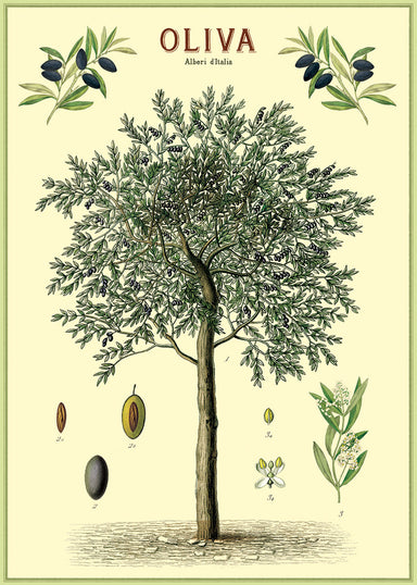Cavallini & Co. presents a beautiful scientific image of an olive tree, complete with details of olive, branch ends, and blooms.