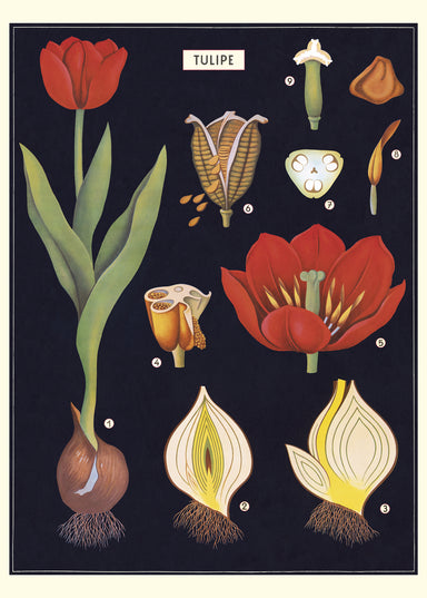 Beautifully painted botanical images of variegated tulips on a dark background adorn this wrap by Cavallini & Co.