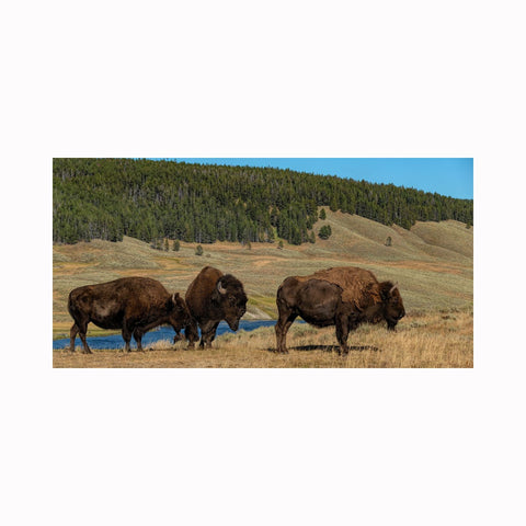 """Three Yellowstone Bison"" landscape animal and nature photography by Texas artist photographer Mark Holly 