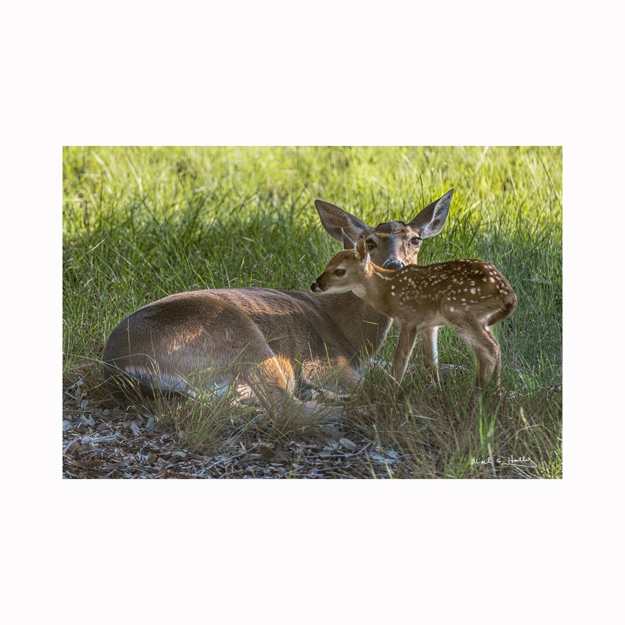 """Newborn Fawn Hiding"" by digital photographer Mark Holly 