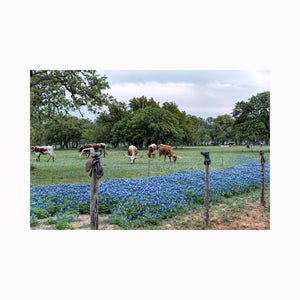 """Happily Grazing Longhorns"" by Texas photographer and artist Mark Holly 