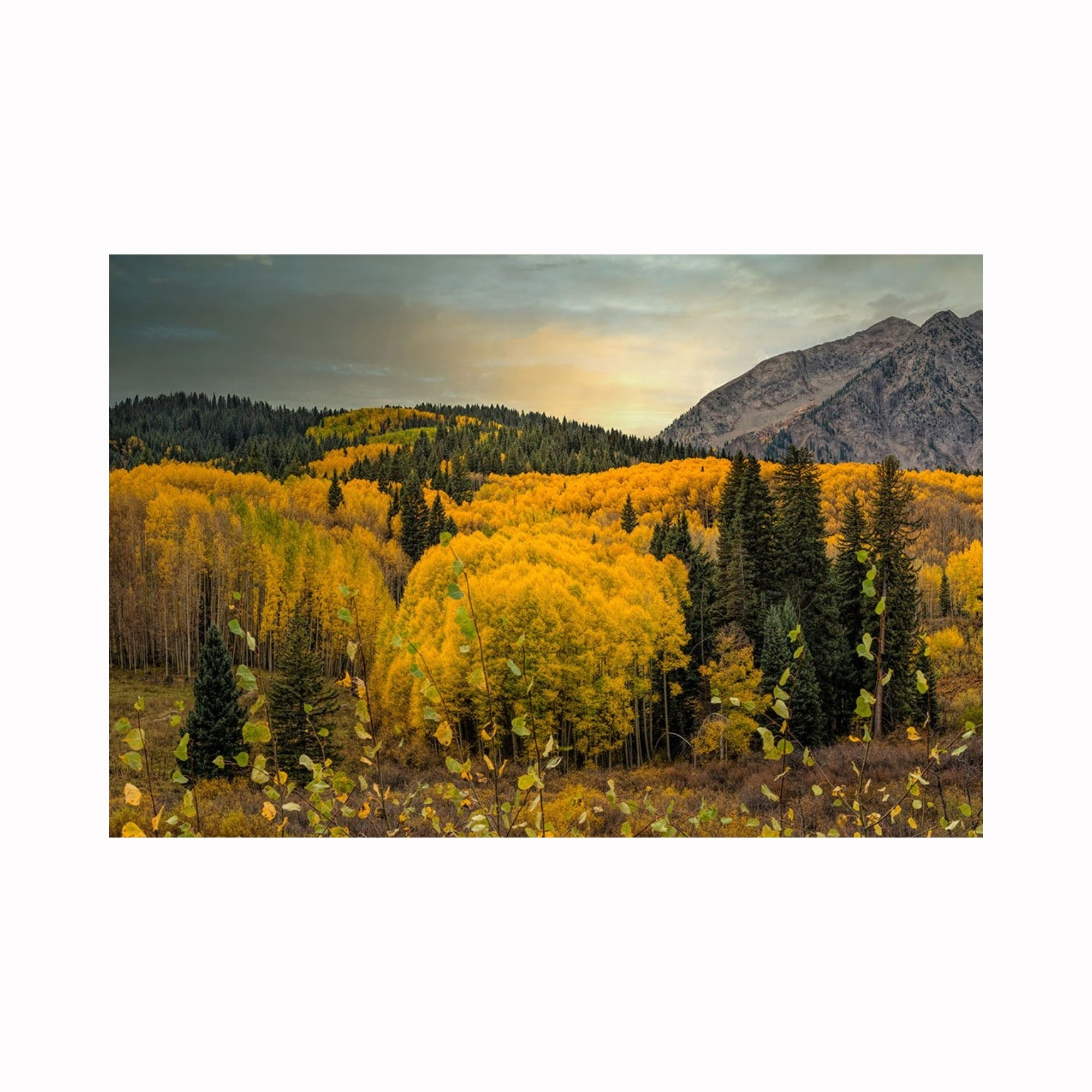 """Aspen Stand Near Crested Butte"" by Texas photographer Mark Holly 