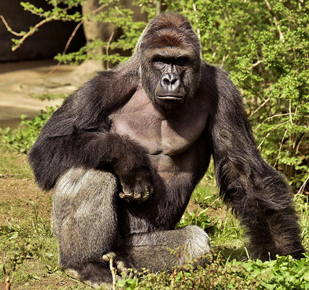 Harambe the gorilla didn't deserve to die, but neither did a child
