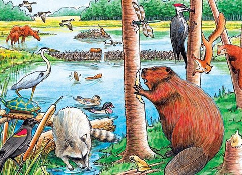 The Beaver Pond Puzzle