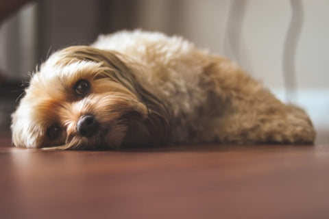 Using Zyrtec for Dogs