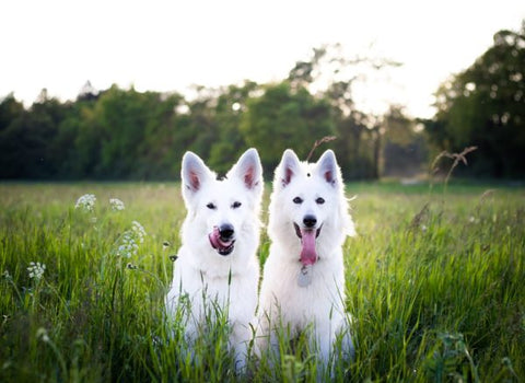 CBD Benefits for Dogs: Cancer, Pain, Anxiety and More