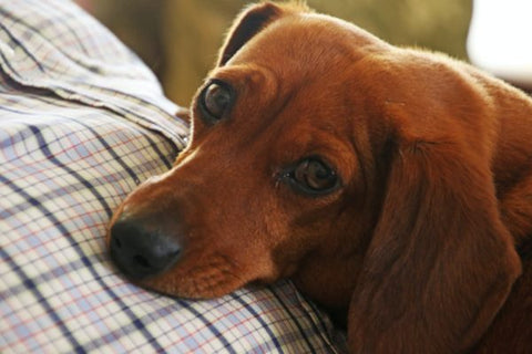 Home Remedy for Bloated Dog Stomach