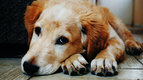Hot Spots on Dogs – What Should You Do?