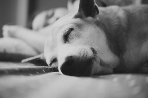 CBD Dosage for Dogs