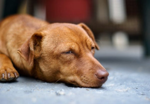 Causes of Excessive Dog Panting in Older Dogs