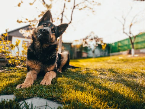 Known Side Effects of L-Theanine for Dogs