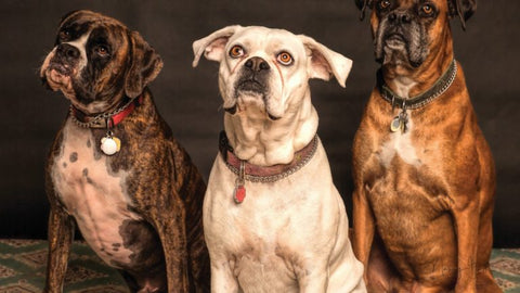 How to Use CBD Oil for Dogs