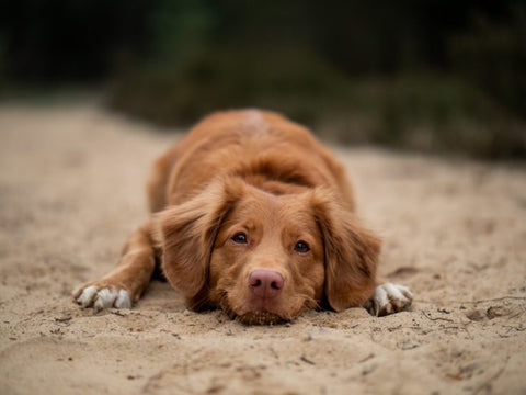 What Can I Give My Dog For Pain Relief?