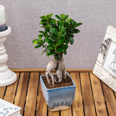 BONSAI CARE