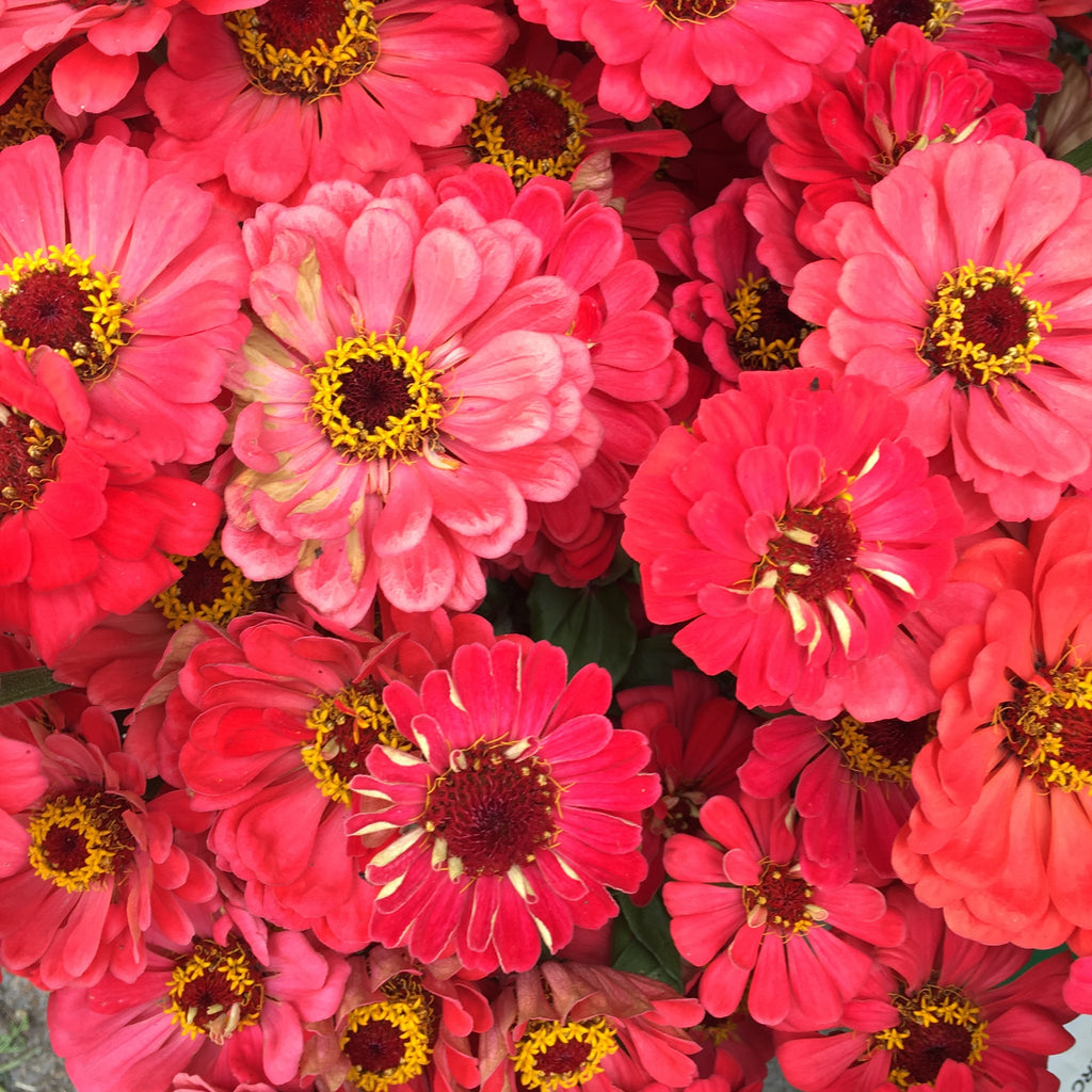 Coral Giant Zinnia 6 pack