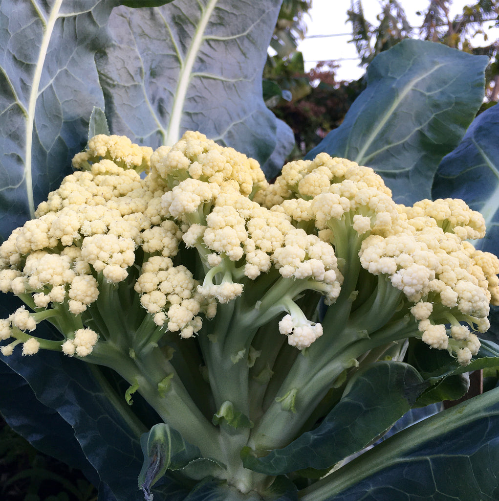 1 pound Fioretto sprouting cauliflower from French Farms