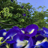 Butterfly Pea Vine (clitoria tematea) 30 seeds