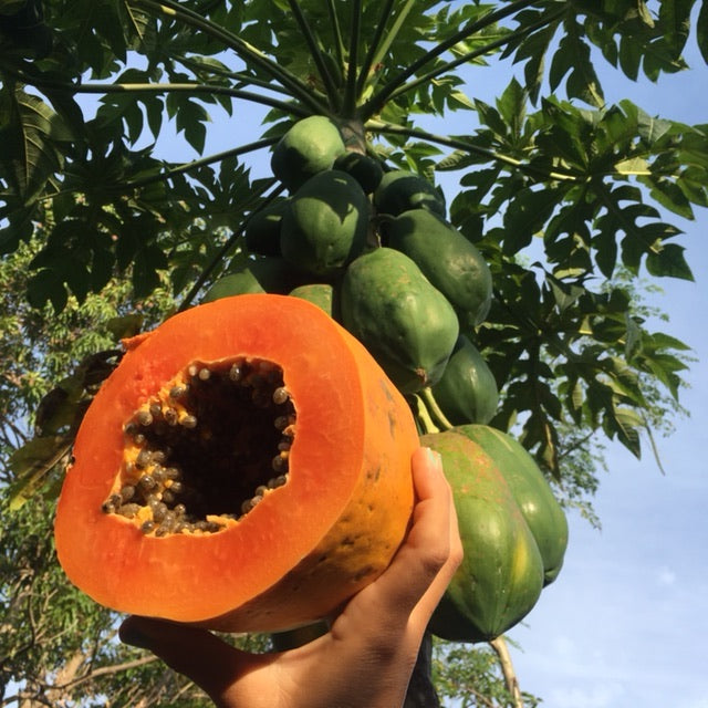 Red Lady Papaya (carica papaya) 20 seeds