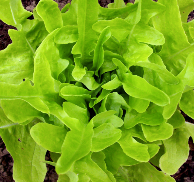 Thai Oakleaf Lettuce Seed Packet