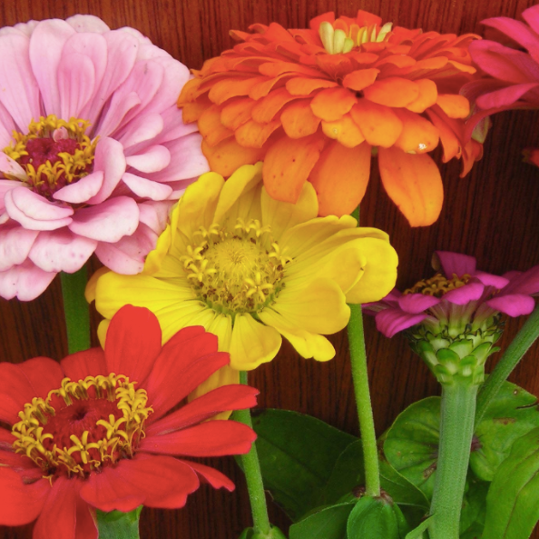 State Fair Zinnia Mix Seed Packet
