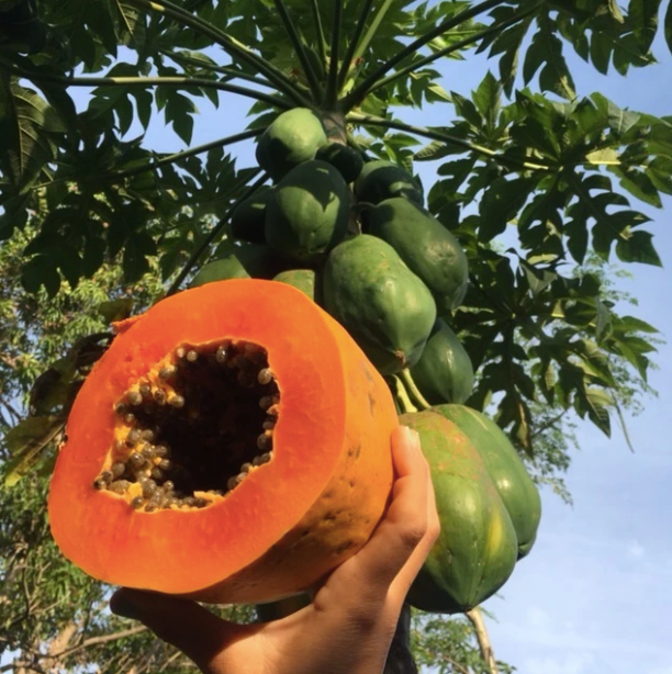 Red Lady Papaya 3 gallon tree