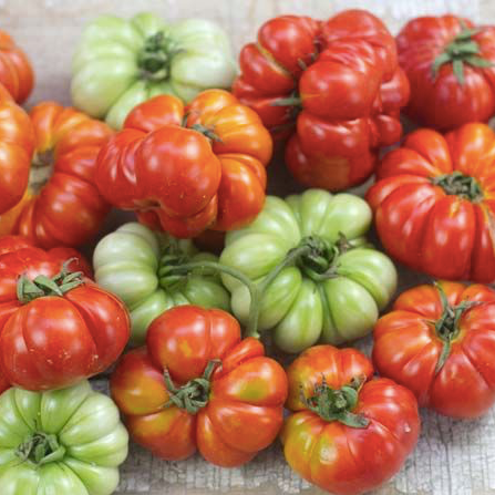 Costoluto Genovese, medium size Tomato