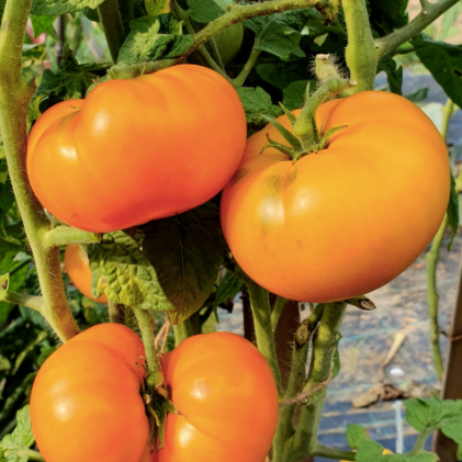 Blazing Beauty Dwarf Tomato