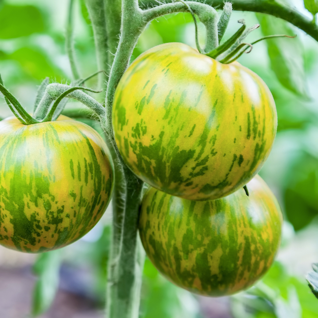Green Zebra Medium Tomato