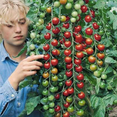 Supersweet 100 Cherry Tomatoes