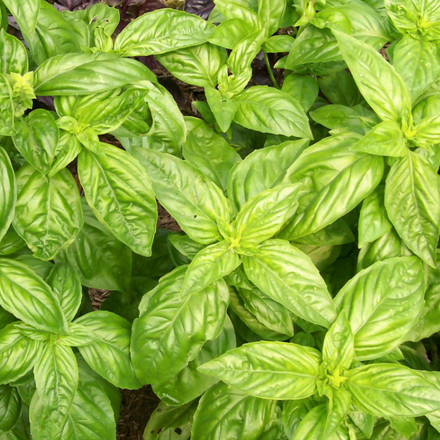 Sweet Genovese Basil Seed Packet