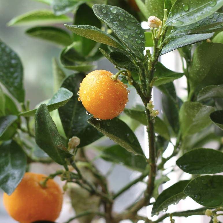 Calamondin Citrus Tree 3 gallon