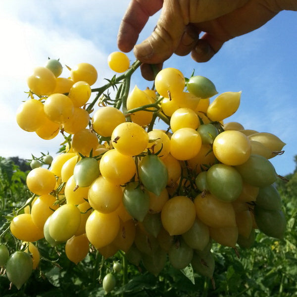 Barry's Crazy Yellow Cherry Tomato