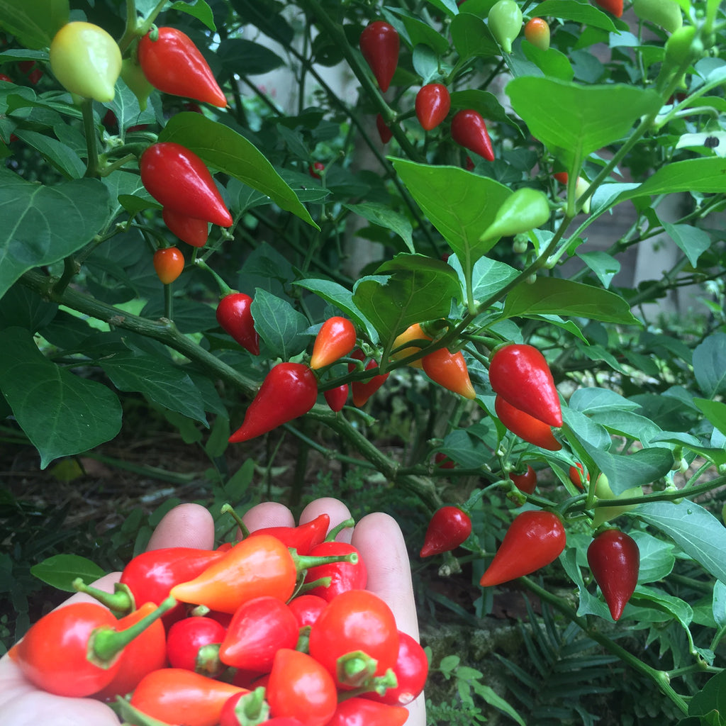 Red Biquinho Pepper
